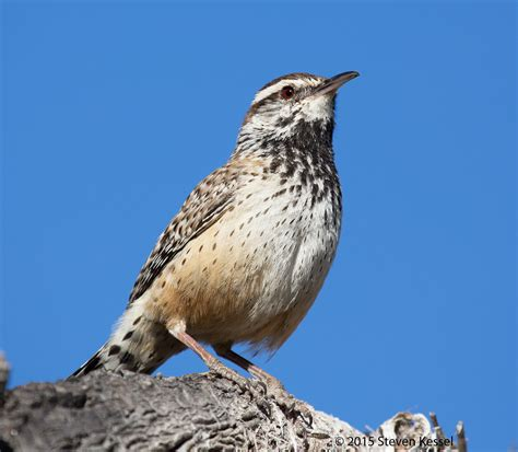 picture of arizona state bird wallpaper sportstle