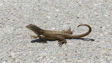 florida lizards identification photos florida lizard names geckos in florida mexzhouse com