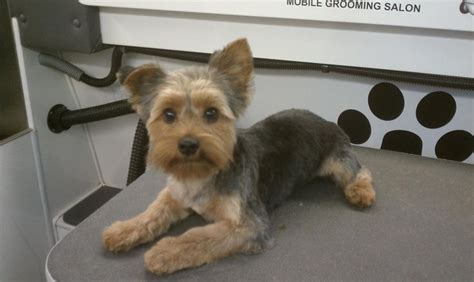 before and after yorkshire terriers short hair cut yorkshire grooming styles club doggie mobile grooming