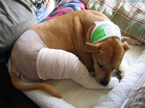 ccl in dogs stifle surgery in dogs images