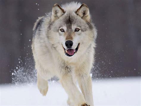lobo animal wiki fandom powered by wikia