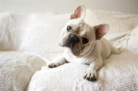 Kitchen Design Interior Decorating by French Bulldog Dog Breed Information
