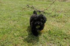 yorkies for sale in huntsville al 1000 images about yorkie poo puppies on yorkie poo puppies puppies for