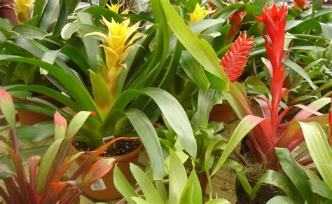 Bromelia Green Grass Diskon sims landscape co photos of plants bromeliad