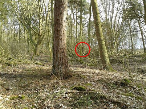 Bigfoot Email Search Is This Bigfoot Captures Image Of Sasquatch In Woodland Caters News