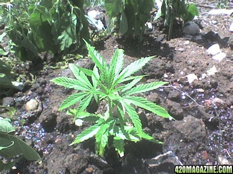 grow ls for indoor cigo summer outdoor grow 2009 lemonskunk trainwreck 420