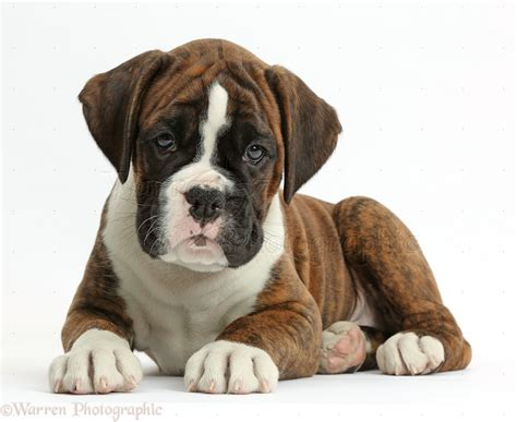 8 week puppy week boxer puppies images
