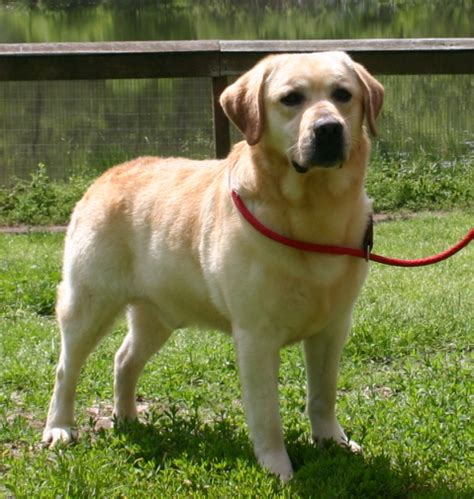 puppies for sale st louis puppies for sale labrador retrievers labradors labs in breeds picture