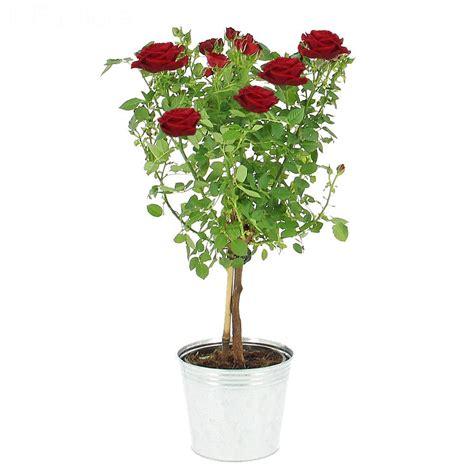 Arbres Fleurs Roses by Livraison L Arbre 224 Roses Plante Fleurie Foliflora