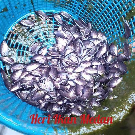 Bibit Ikan Gurame Medan jual bibit ikan lele nila gurami medan home