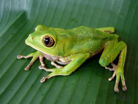 imagenes animales anfibios orinoqu 237 a concentra mayor riqueza de algunos g 233 neros de