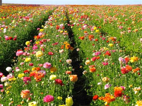 Flower Garden Carlsbad Visit The Flower Fields In Carlsbad Garden Destinations Magazine