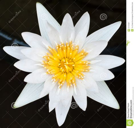Emberly Top Z By Lotuz white lotus in the lake royalty free stock photography