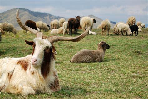 alimentazione pecore mangimi per ovini e caprini rieper alto adige