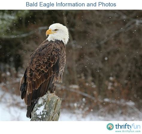 bald eagle birds guide bald eagle information and photos american symbols bald