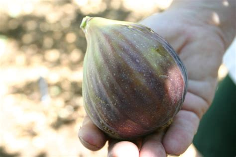 best fig xtremehorticulture of the desert figs grow great in the