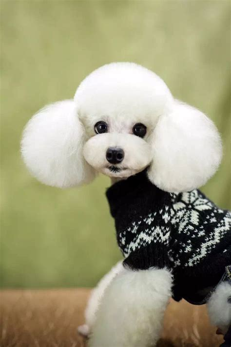 french poodle haircuts 134 best images about asian dog grooming on pinterest