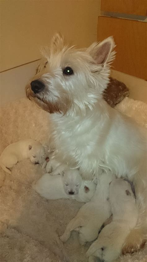 west highland puppies for sale beautiful kc registered westie boy for sale blackburn lancashire pets4homes