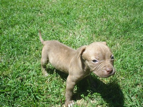 blooded pitbull puppies for sale search puppies for sale classified ads dogs for sale classifieds by breed