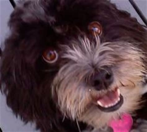 havanese rescue dogs for adoption havanese rescue dogs on adoption northern california and havanese puppies