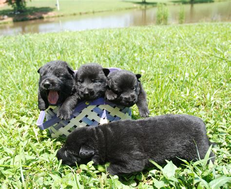 solid black german shepherd puppies for sale solid black german shepherd puppies for sale dogs our friends photo