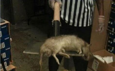 Found In The Bronx by Rat Found Inside A Foot Locker In The Bronx New York