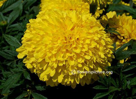Yellow Marigold inca marigold marigold inca ii yellow tagetes erecta