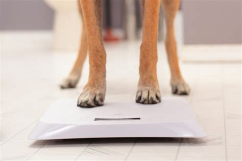 how much will my puppy weigh how much should your weigh all about dogs