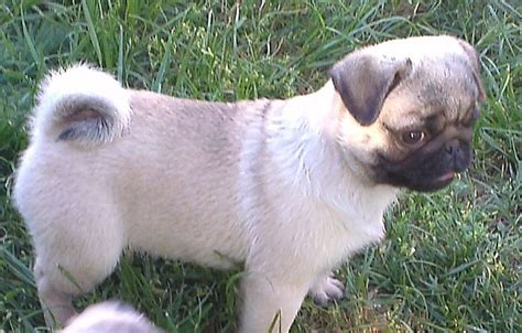 14 week pug 14 week pug puppies ready to be rehomed west pets4homes