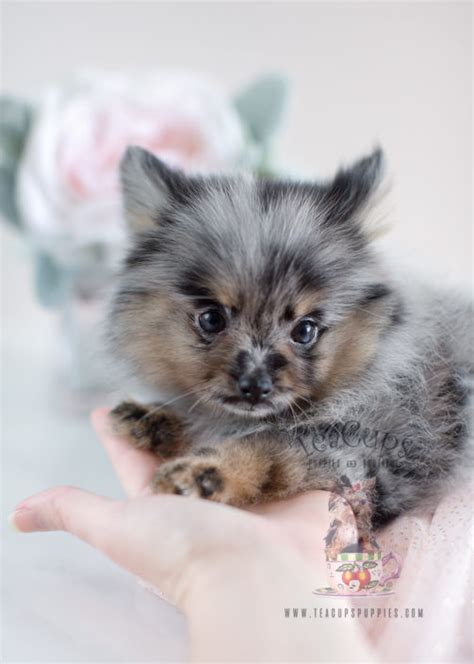 micro mini pomeranians for sale mini pomeranian www pixshark images galleries with a bite