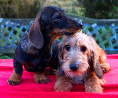 Miniature Wirehaired Dachshund Puppies | Ross On Wye ...