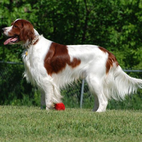 white setter dog irish red and white setter breed guide learn about the