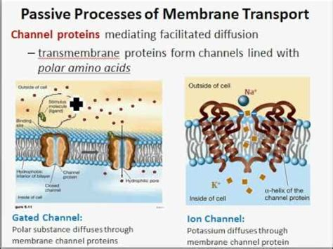 cell membranes  active  passive transport youtube