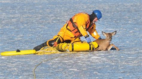 rescues deer hamilton township firefighters rescue deer stranded on rice lake in harwood