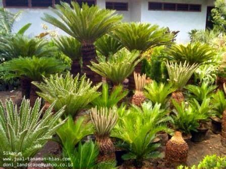 Tanaman Sikas artikel tentang tanaman sikas jual tanaman hias
