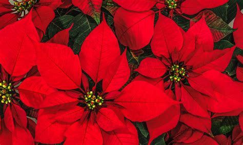 stelle di natale fiori come curare le stelle di natale floraqueen italia