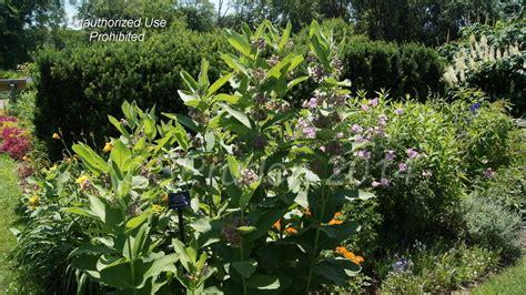 Plantfiles Pictures Asclepias Species Common Milkweed Matthaei Botanical Gardens Arbor