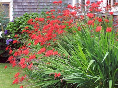 crocosmia lucifer i love this plant it reminds me of