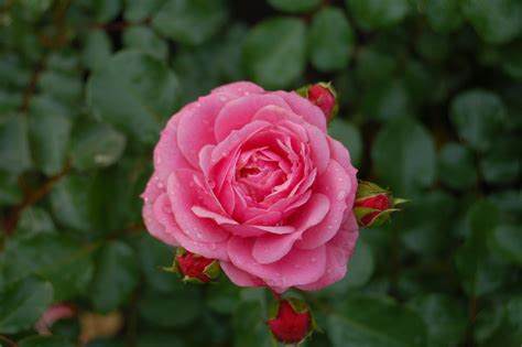 rose royal royal bonica rose cdjb
