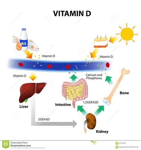 uv l vitamin d schematic diagram of vitamin d metabolism stock image