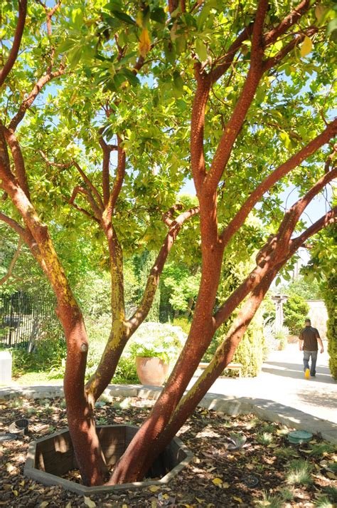Arbutus Unedo Marina by Marina Strawberry Tree Arbutus Marina Wholesale