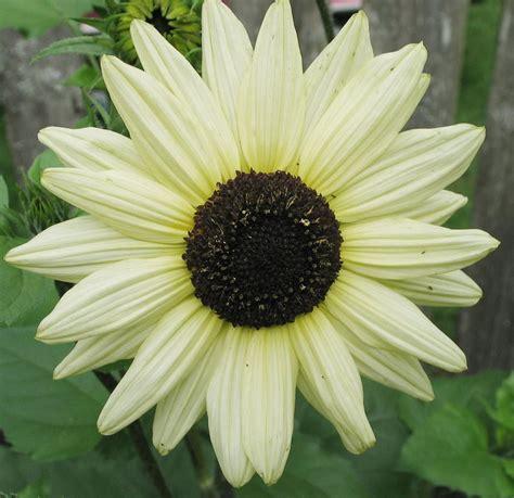 Biji Bunga Sunflower Italian White 30 heirloom sunflower italian white seeds