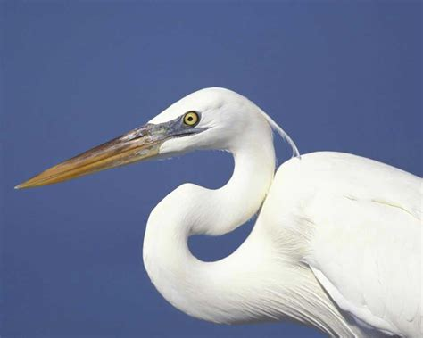 Great Blue Heron Audubon Field Guide Blue Heron Meaning
