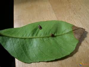 photo cochenilles sur une feuille de citronnier