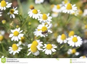 Bee Garden Flowers Flower And Bee Stock Photo Image 42743289