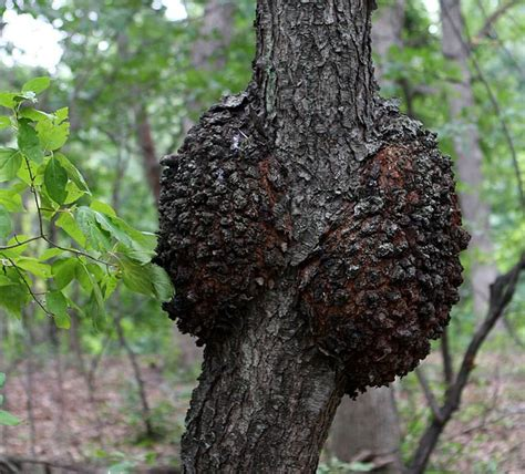 black and cherry tree top 10 tree diseases in rhode island kaiser tree preservation co