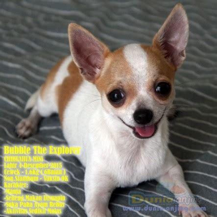 Mini 3 Semarang dunia anjing jual anjing chihuahua jual 3 anakan