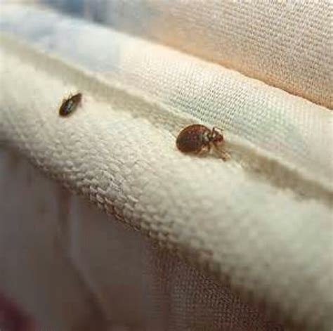 bed bugs and dryer sheets pin by jennifer tartaglione on news the field report