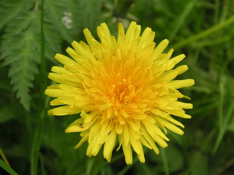 dandelion facts lessons from a dandelion ethereal wellness counseling
