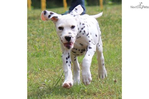 dalmatian puppies for sale michigan dalmatian puppy for sale near grand rapids michigan 69312afd c891